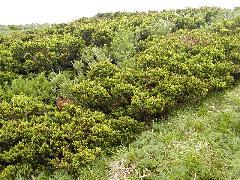 大山のダイセンキャラボク純林